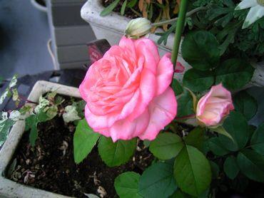 ピンクの薔薇370.jpg
