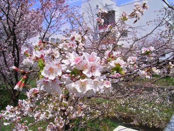 桜③360.jpg
