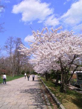 桜⑤360.jpg
