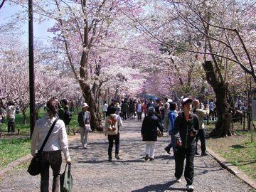 桜神宮梅と桜.jpg