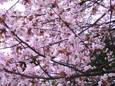 神宮の桜③370.jpg