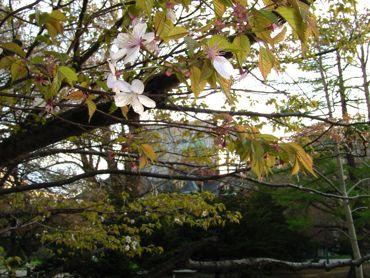 赤れんがと桜370.jpg