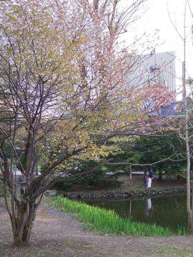 赤れんがと桜縦サイズ370.jpg