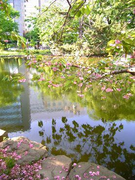 赤れんが池と桜370.jpg